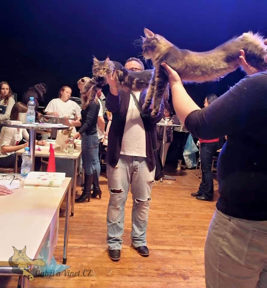 chovatelská stanice mainská mývalí kočka Bambi Lion Kladno Gabzi a Vinet CZ (5)