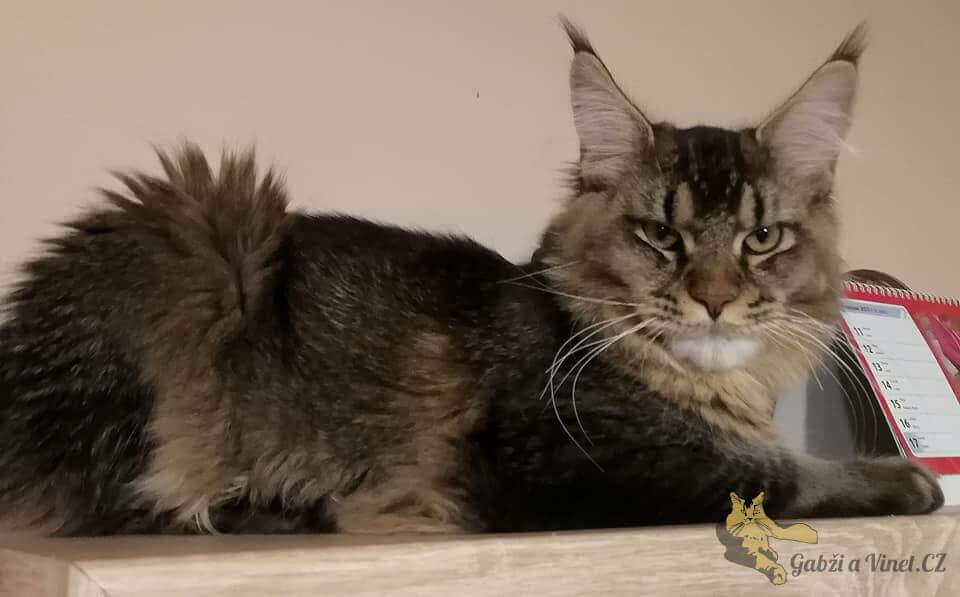 chovatelská stanice mainská mývalí kočka Bambi Lion Kladno Gabzi a Vinet CZ (8)