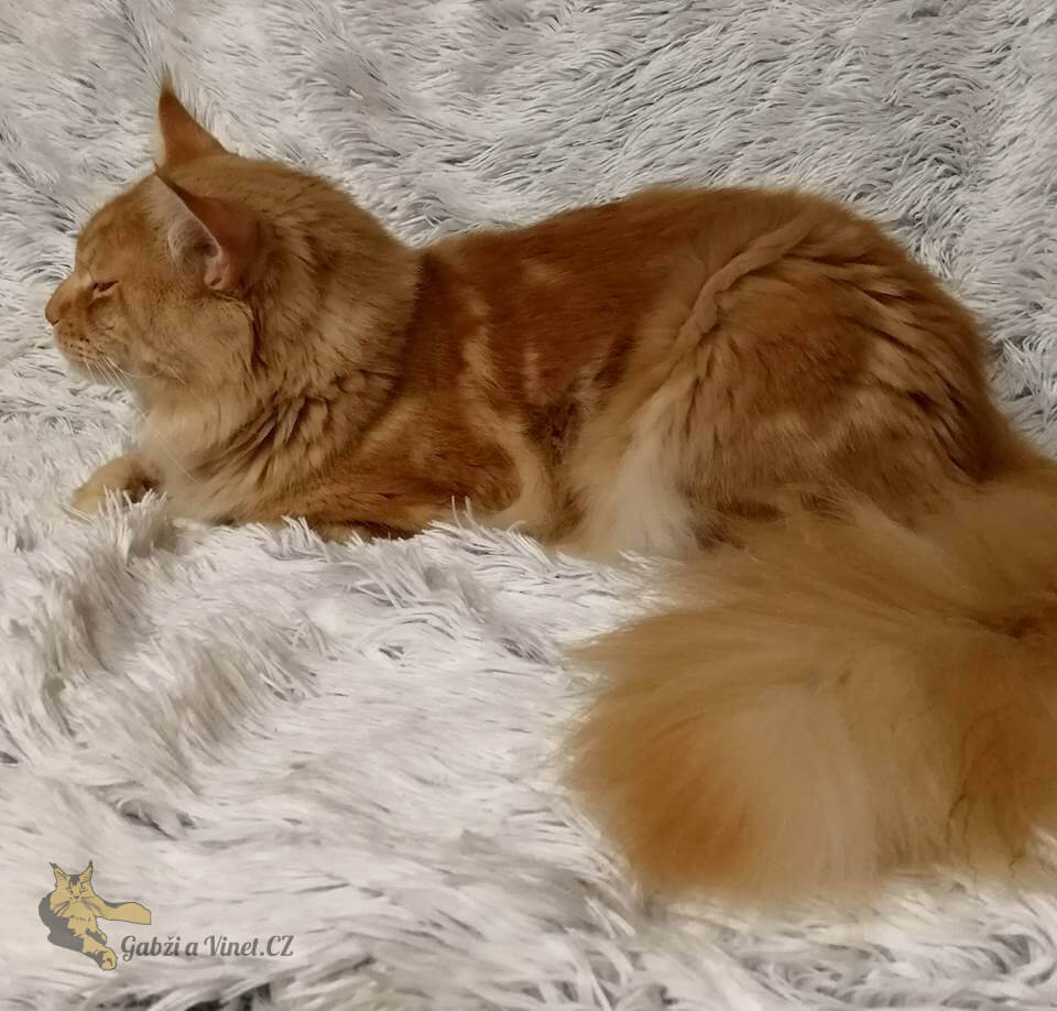 chovatelská stanice mainská mývalí kočka Cookie Urgatina Valley. CZ Kladno Gabzi a Vinet CZ (9)