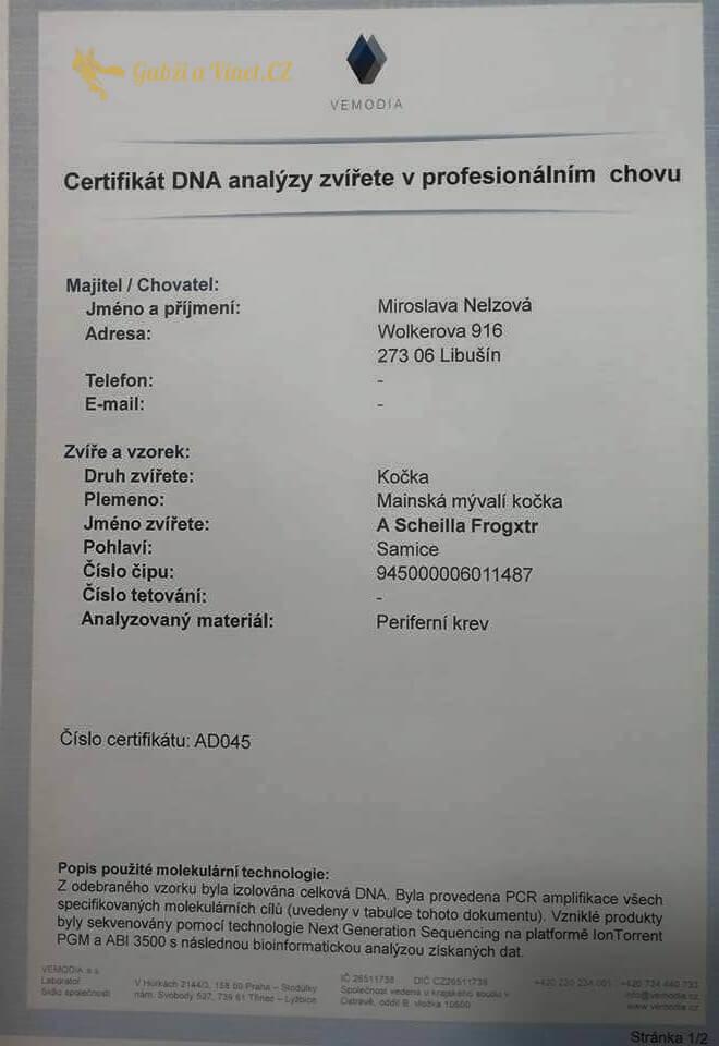 chovatelská stanice mainská mývalí kočka A´scheilla Frogxt. CZ Kladno Gabzi a Vinet CZ (22)