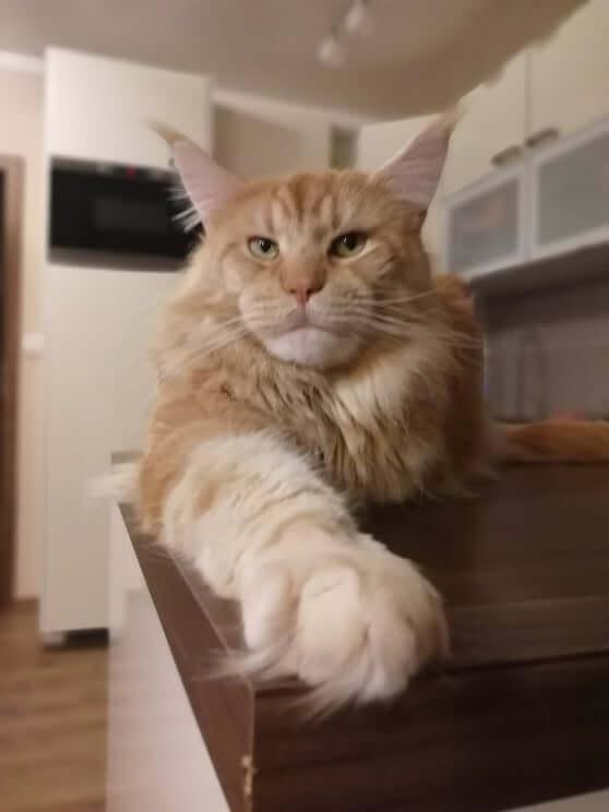 chovatelská stanice mainská mývalí kočka Cookie Urgatina Valley. CZ Kladno Gabzi a Vinet CZ (15)