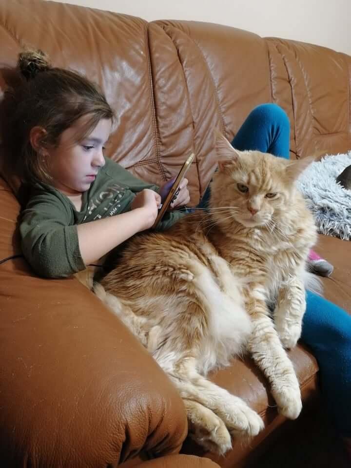 chovatelská stanice mainská mývalí kočka Cookie Urgatina Valley. CZ Kladno Gabzi a Vinet CZ (16)