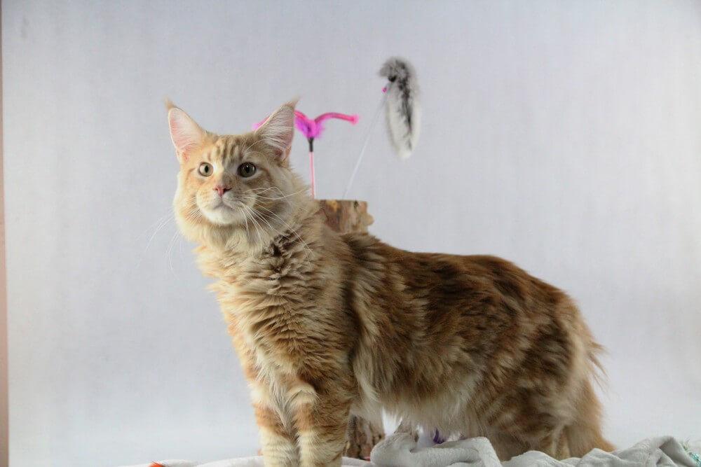 chovatelská stanice mainská mývalí kočka Cookie Urgatina Valley. CZ Kladno Gabzi a Vinet CZ (19)