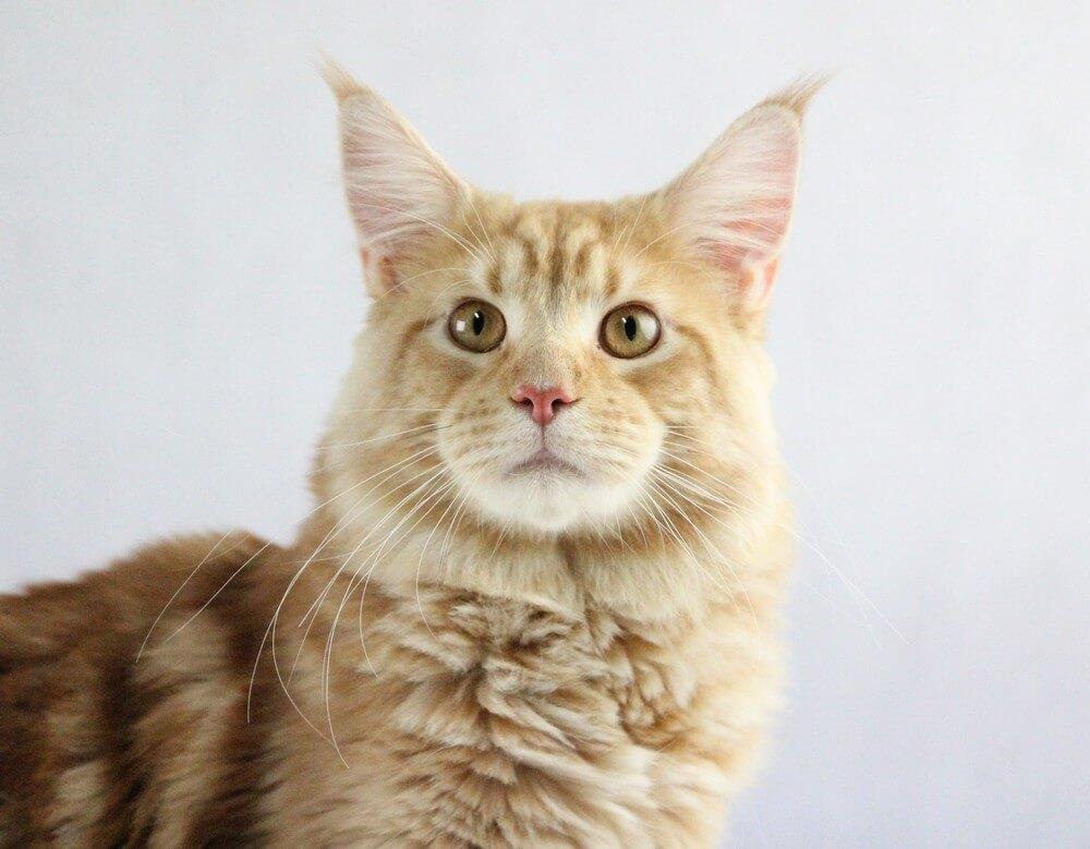 chovatelská stanice mainská mývalí kočka Cookie Urgatina Valley. CZ Kladno Gabzi a Vinet CZ (25)
