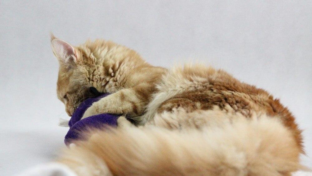 chovatelská stanice mainská mývalí kočka Cookie Urgatina Valley. CZ Kladno Gabzi a Vinet CZ (26)