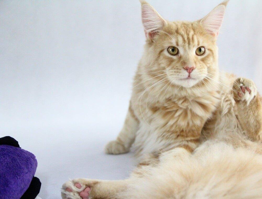 chovatelská stanice mainská mývalí kočka Cookie Urgatina Valley. CZ Kladno Gabzi a Vinet CZ (27)