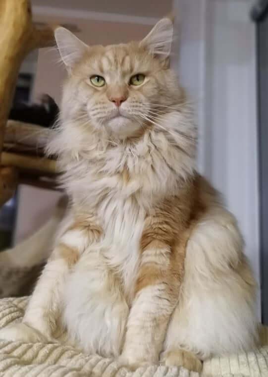 chovatelská stanice mainská mývalí kočka Cookie Urgatina Valley. CZ Kladno Gabzi a Vinet CZ (28)