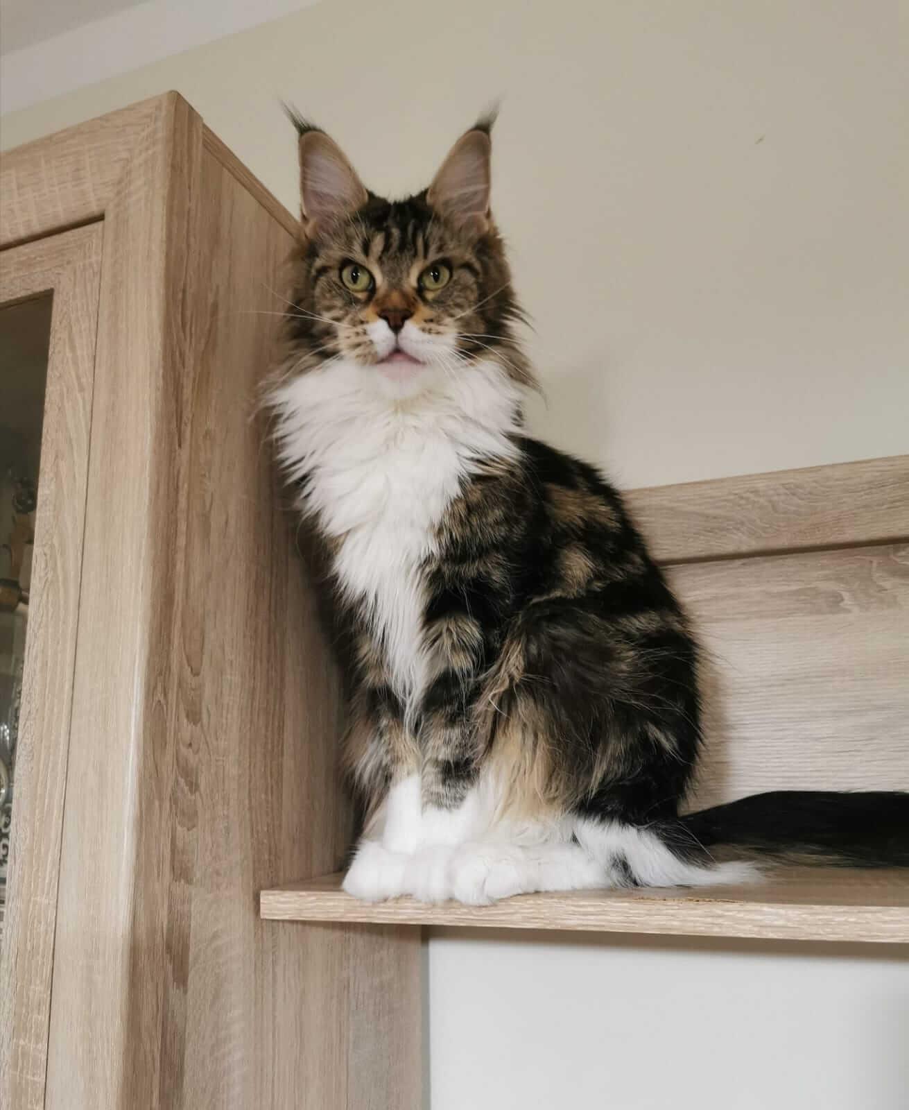 chovatelská stanice mainská mývalí kočka Patrizia Pretty A Lynx Star.CZ Kladno Gabzi a Vinet CZ